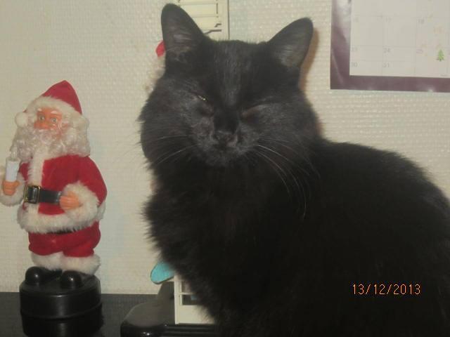 Iloa - superbe minette angora noire (80) Adoptée :) 14723010