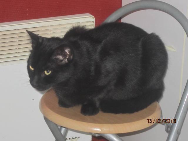 Shadow - noir yeux ors né en 2011 14838510