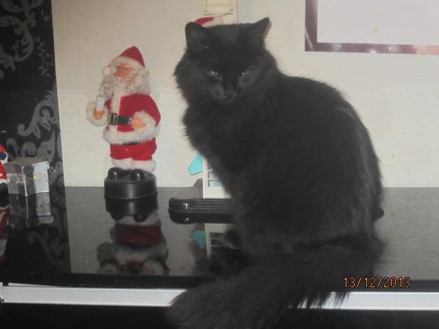 Iloa - superbe minette angora noire (80) Adoptée :) 14929310