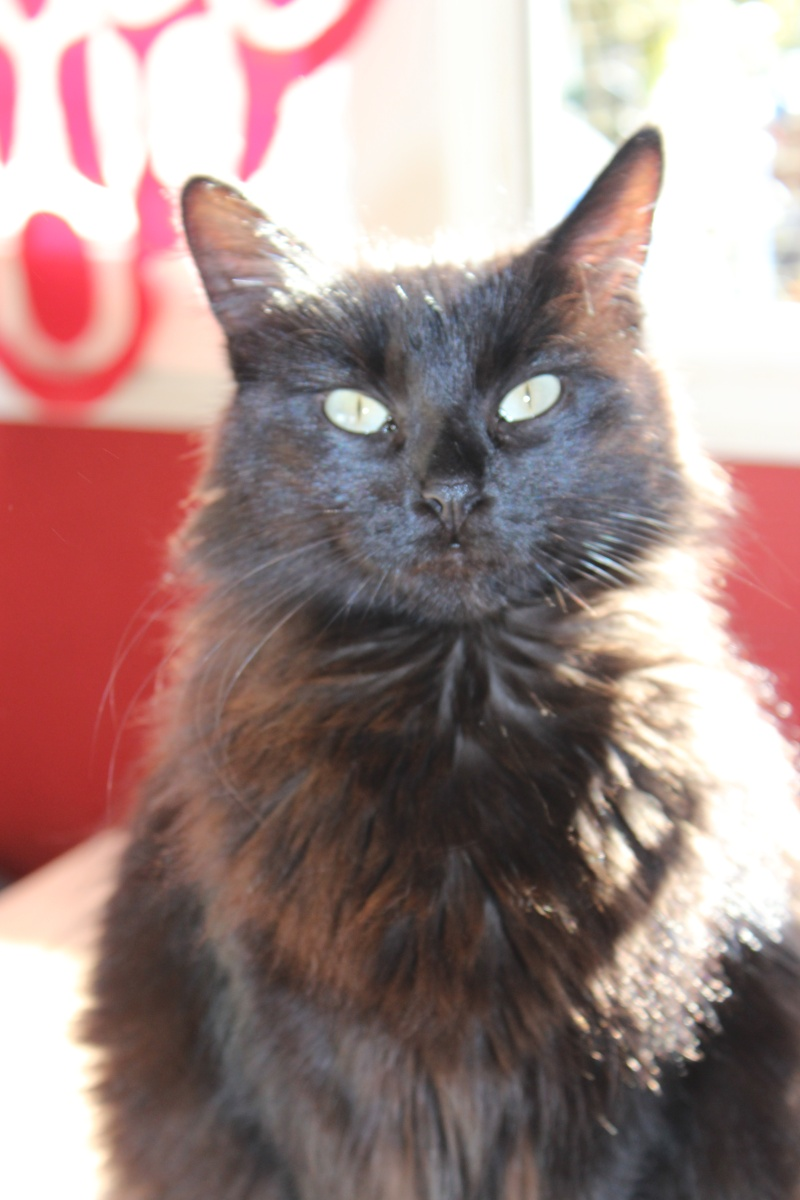 Iloa - superbe minette angora noire (80) Adoptée :) Img_1223