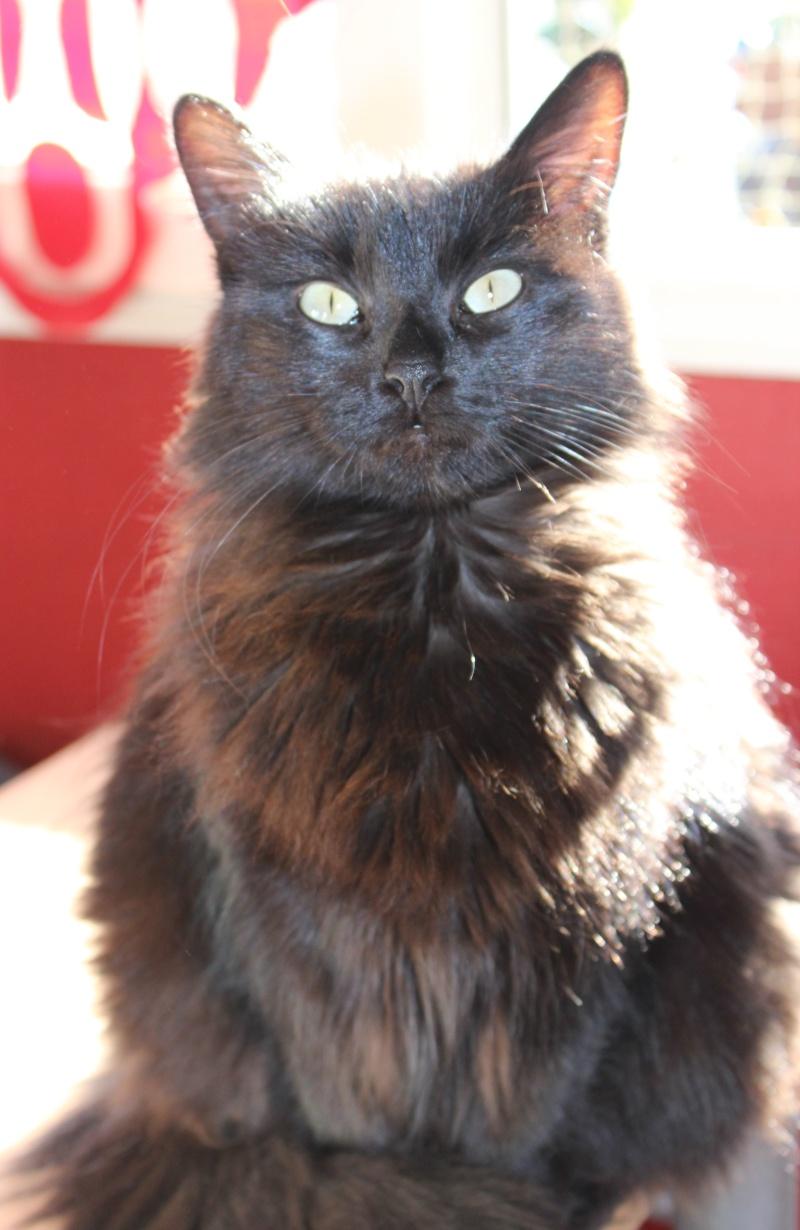 Iloa - superbe minette angora noire (80) Adoptée :) Img_1224