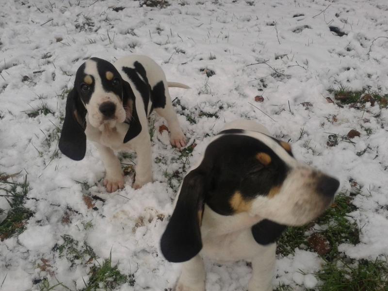 A vendre chiots gascon saintongeois(photos dans la neige) Photo-38