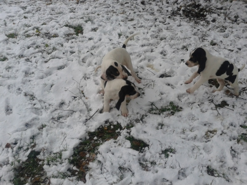 A vendre chiots gascon saintongeois(photos dans la neige) Photo-41