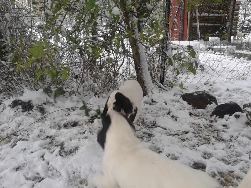 A vendre chiots gascon saintongeois(photos dans la neige) Photo-42