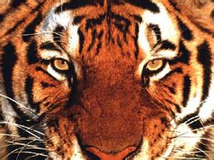 The Eyes of the Big Cats Th10