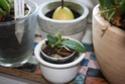 Phalaenopsis lobbii var. vietnamica Phal_l10
