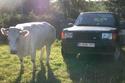 bien le bonjour Vache_10
