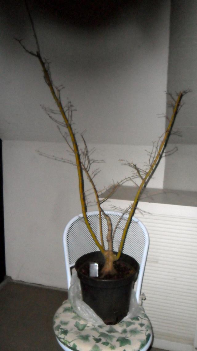 Acero palmato verde da costruire Sam_1115