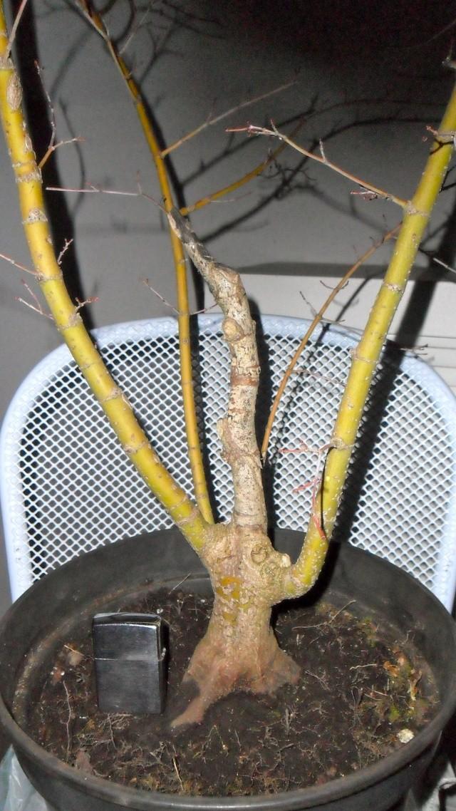 Acero palmato verde da costruire Sam_1116