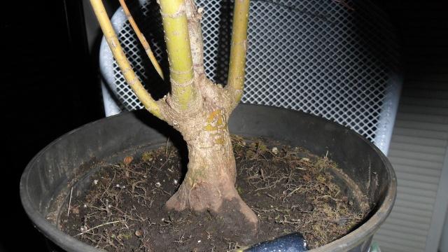 Acero palmato verde da costruire Sam_1120