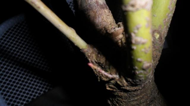 Acero palmato verde da costruire Sam_1211