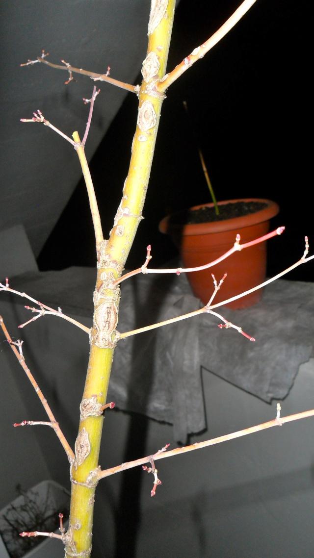 Acero palmato verde da costruire Sam_1212