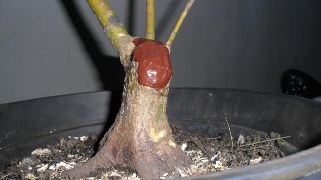 Acero palmato verde da costruire Sam_1215