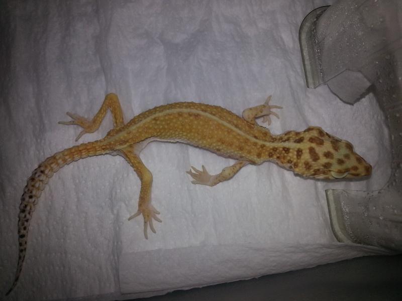 besoin urgent de conseille pour gecko leopard 20131110