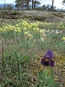 Iris lutescens Cimg2210