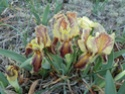 Iris lutescens Cimg2410