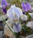 Iris lutescens Dsc_0011