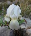 Iris lutescens Dsc_0012