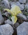 Iris lutescens Dsc_0013