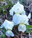 Iris lutescens E210