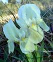Iris lutescens E311