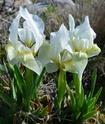 Iris lutescens E510