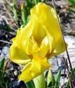 Iris lutescens E610