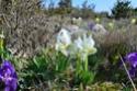 Iris lutescens Esteza10