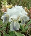 Iris lutescens Fa0110