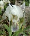 Iris lutescens Fa0310