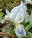 Iris lutescens Fa0510