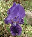 Iris lutescens Fa0710