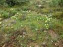 Iris lutescens Fabrag10