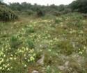 Iris lutescens Fabrag12