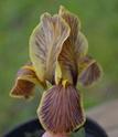 Iris lutescens L2-1610