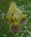 Iris lutescens L4-0110