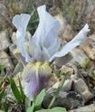 Iris lutescens M110
