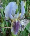 Iris lutescens M310