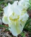 Iris lutescens M510