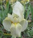 Iris lutescens P110