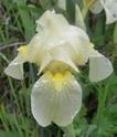 Iris lutescens P510
