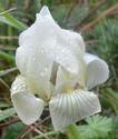 Iris lutescens P610