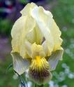 Iris lutescens R1-1110