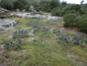 Iris lutescens Roqueb10