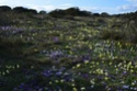 Iris lutescens Saint-14