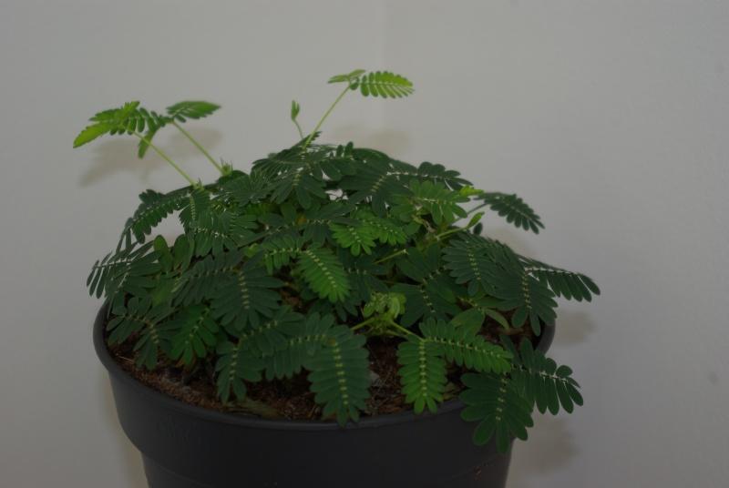 Mimosa Pudica Mimosa10