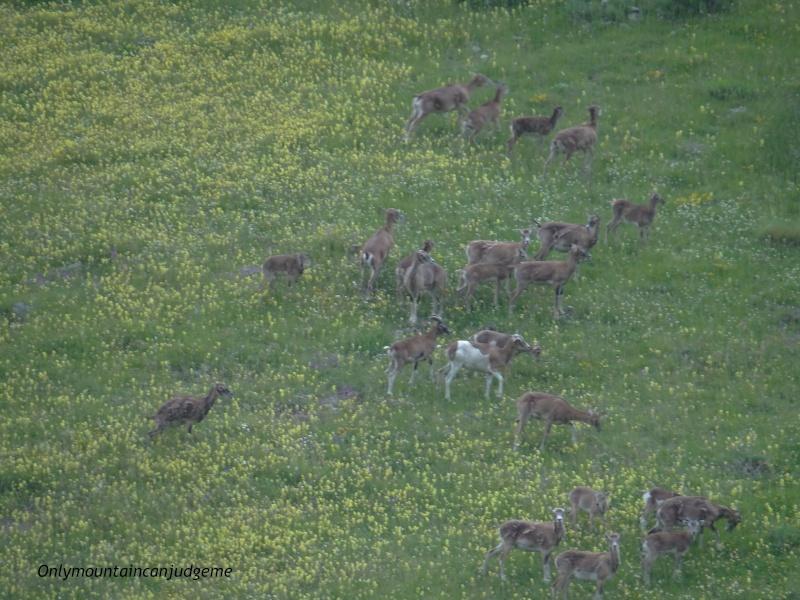 observation mouflon Dsc02210