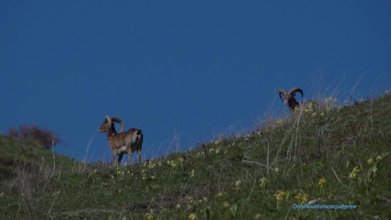 observation mouflon Mouflo10