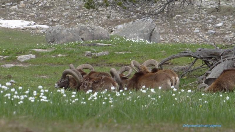 observation mouflon Mouflo11