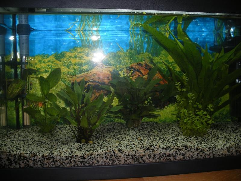 Mon aquarium 54 L Dscf0511